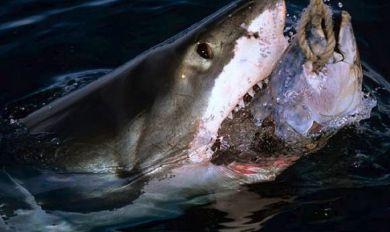 آكلة لحوم البشر.. سمكة قرش تسحب صيادين مسافة 3 كيلومترات!