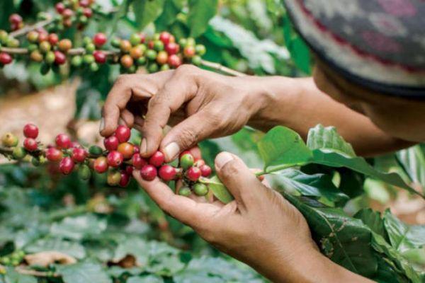 خبراء يحذرون من انقراض محاصيل البن في العالم